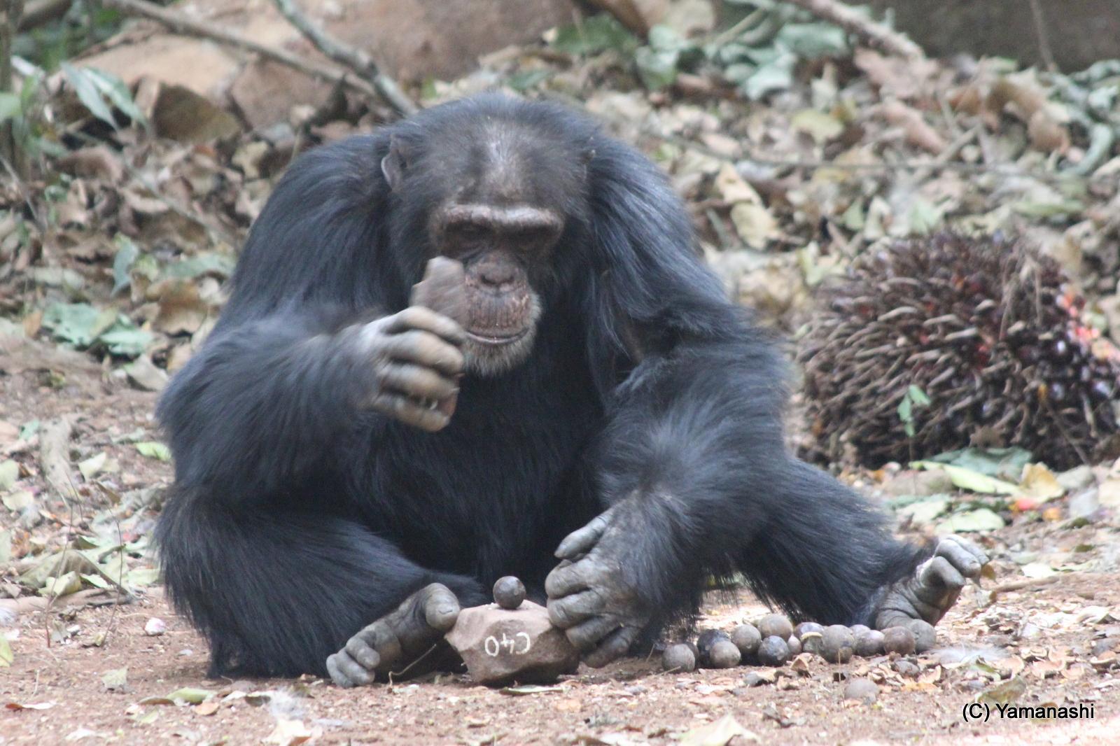 手を叩くチンパンジー